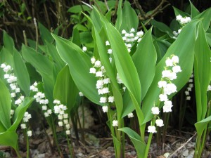 lily-of-valley-03